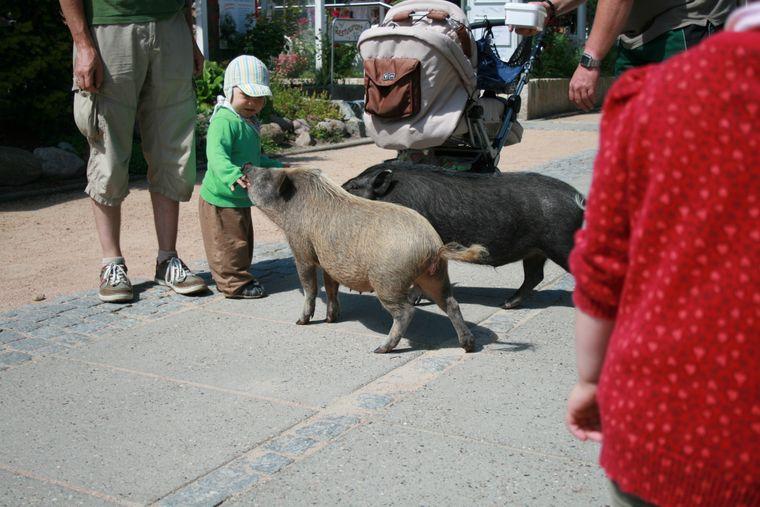 Die Mini-Schweine Lulu und Roy mit einem Kind.