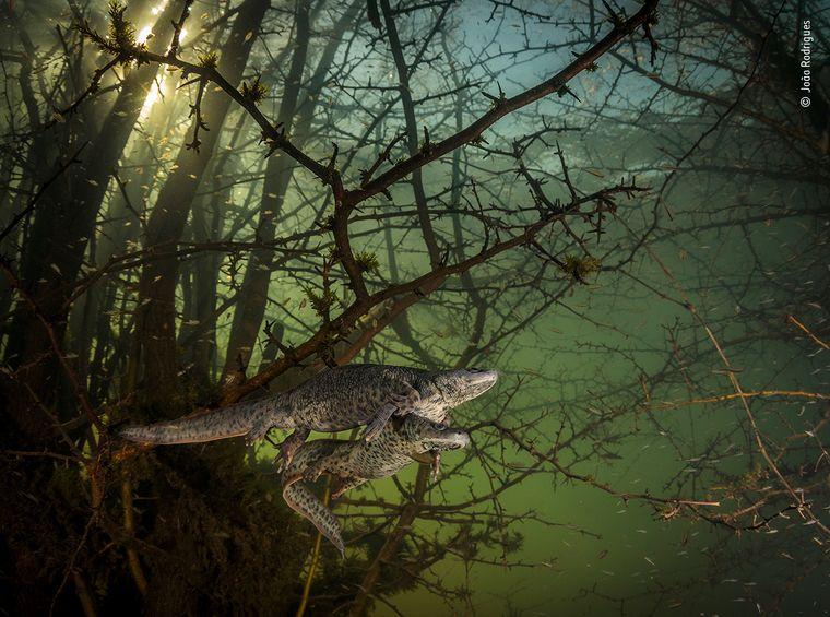 Zwei Spanische Rippenmolche gleiten durch einen überfluteten Wald in Portugal. Das Foto hat Seltenheitswert: Zum ersten Mal seit fünf Jahren bot sich João Rodrigues die Möglichkeit, in diesem See zu tauchen, da er nur in Wintern mit außergewöhnlich starken Regenfällen entsteht.