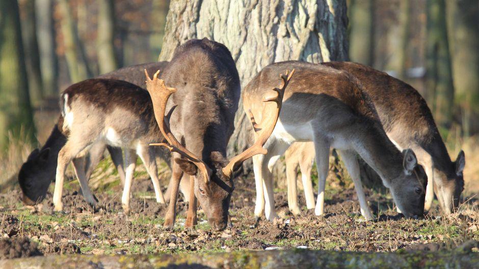 Damwild auf der Mecklenburgischen Seenplatte – ab auf Safari in Deutschland.