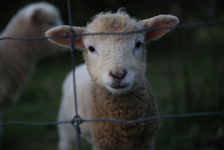 Jane und Julia lernten einige Schafe kennen.