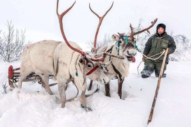 Ein Nenze mit seinen Rentieren im Schnee in Sibirien.