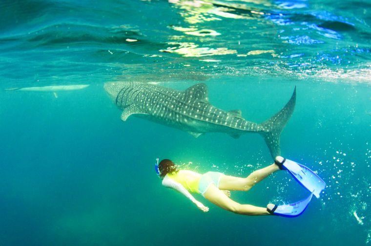 Faszinierendes Erlebnis: Das Schnorcheln oder Tauchen mit den ungefährlichen Walhaien ist ein beliebte Touristen-Aktivität.