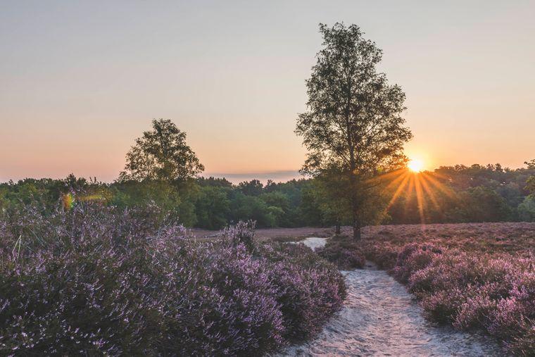 Die Fischbeker Heide leuchtet im August in prachtvollem Violett.