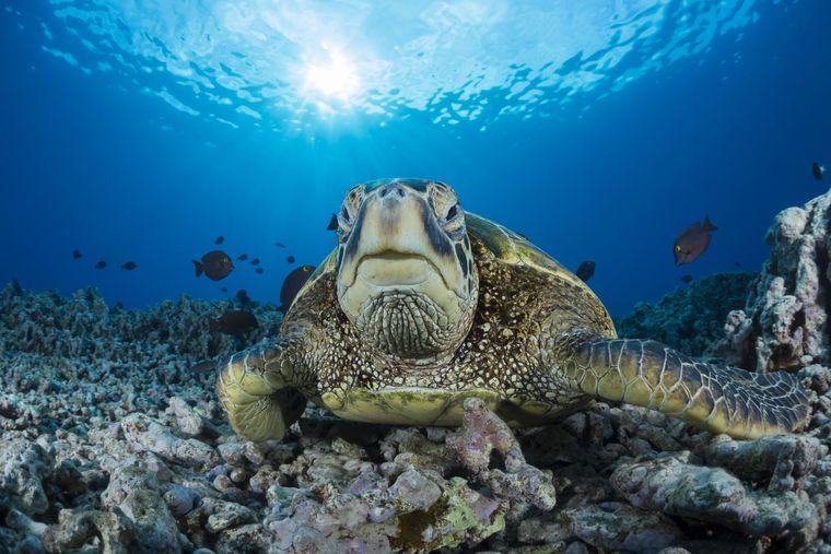 Reges Treiben unter der Wasseroberfläche: Eine Grüne Meeresschildkröte vor Ni'ihau.