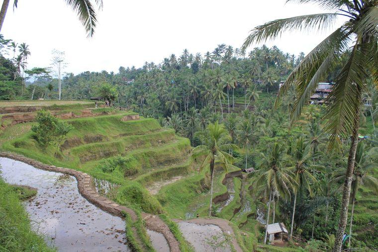 Reisterrassen auf Bali, Indonesien.