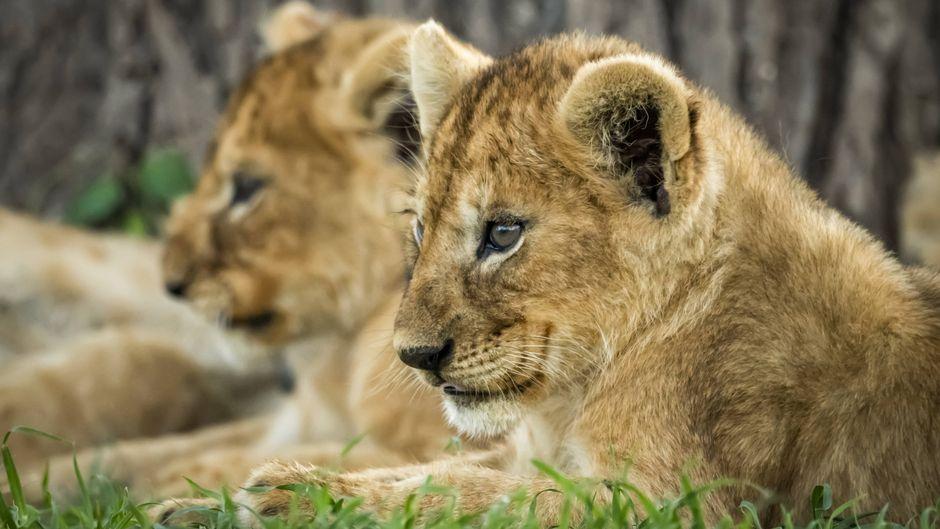 Zwei Löwenjunge in der Serengeti in Tansania.