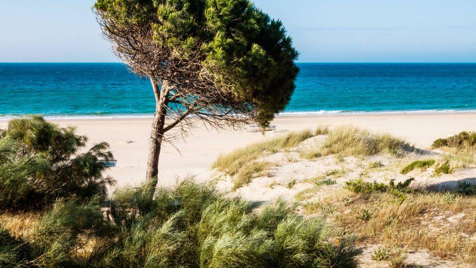 Pinienbaum am Strand von Tarifa.