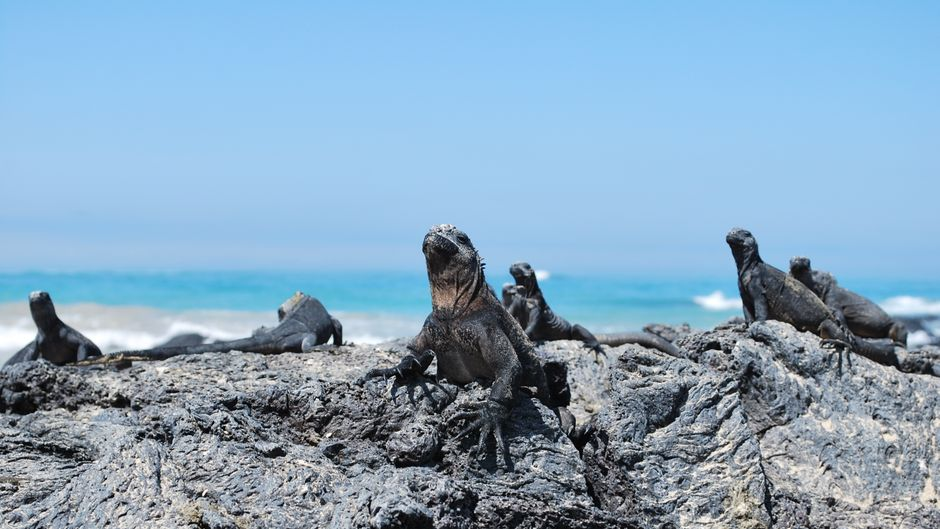 Leguane entspannen sich in Puerto Villamil auf den Galapagosinseln.