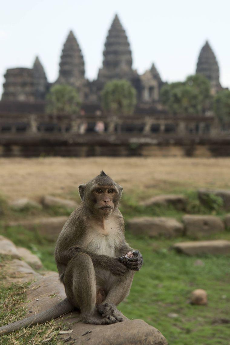 Sehen süß aus, können aber biestig werden: die Affen in Angkor Wat.