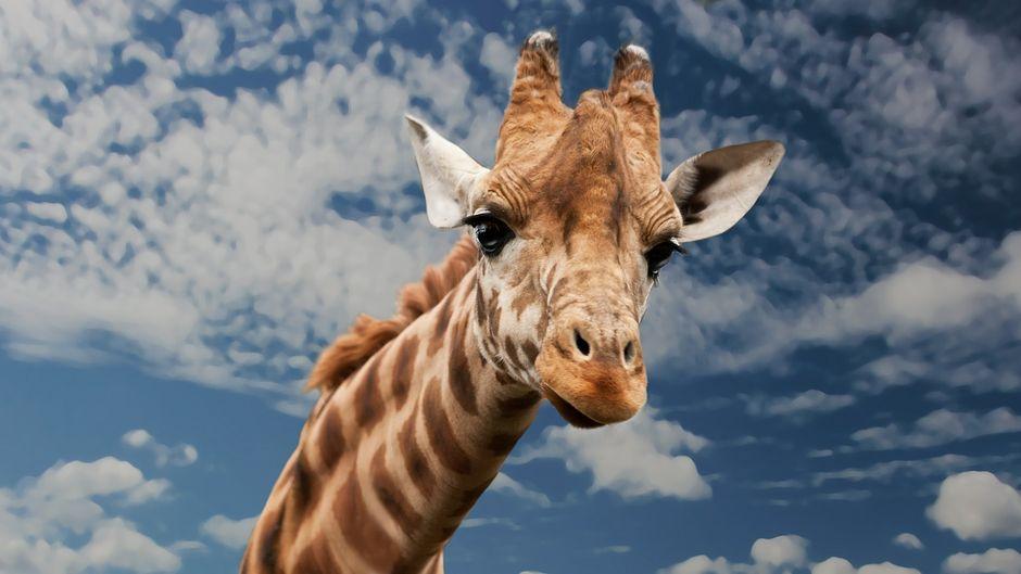 Porträt einer Giraffe.