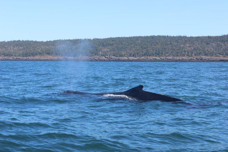 Ein junger Buckelwal taucht neben dem Beobachtungsboot in der Bay of Fundy auf.