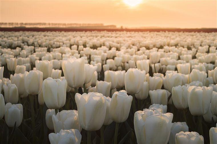 Während der Blütezeit von April bis Mitte Mai gibt es in den Niederlanden vielerorts Tulpen, so weit das Auge reicht.