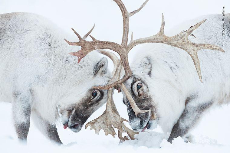 """""""Head to head"""" heißt das Foto von Stefano Unterthiner: Zwei Spitzbergen-Rentiere kämpfen hier um die Kontrolle über ihr """"Harem""""."""