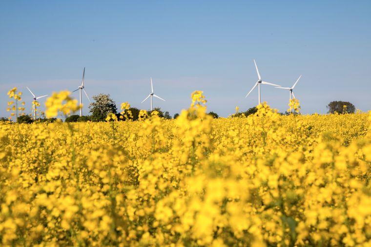 So schön: die leuchtend-gelb blühenden Rapsfelder.