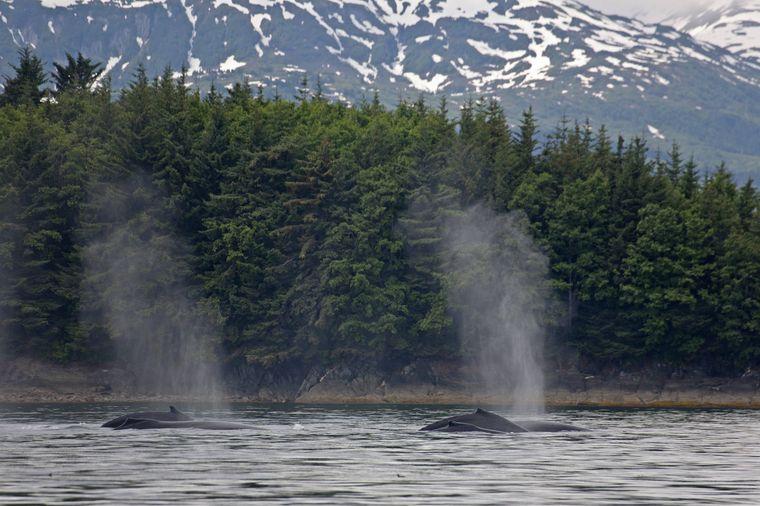 Luftstoß der Wale.