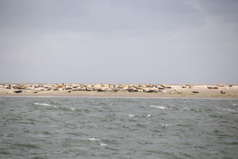 Seehunde auf einer Sandbank im Süden von Fanø.