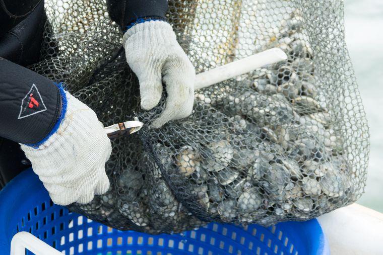 So frische Muscheln wie in der Bucht von Tampa findet man selten.