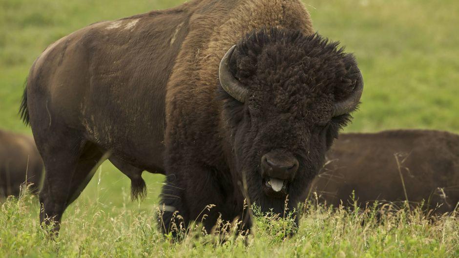 Die Touristin geriet in einen Kampf zwischen zwei Bison-Bullen.
