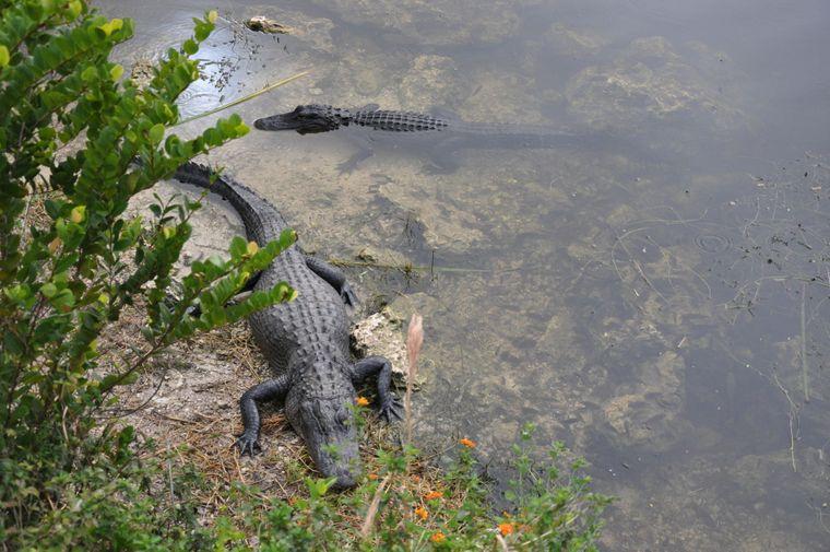 Die Alligatoren im Everglades National Park machen keine Bewegung zu viel.