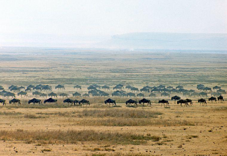 Auf großer Wanderung: Weissbartgnus in der Serengeti in Tansania
