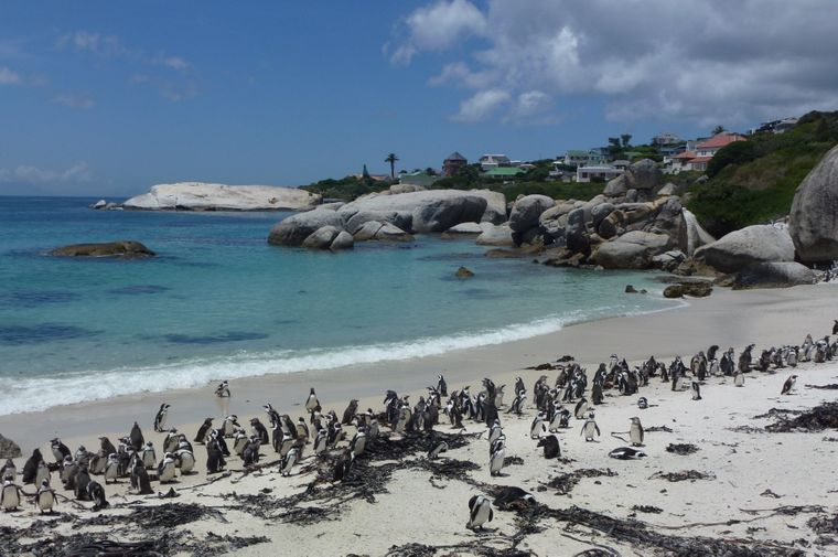 Brillenpinguine am Boulders Beach.