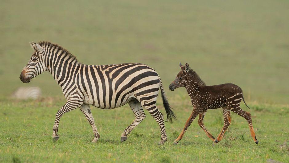 Normalerweise haben auch junge Zebras Streifen – doch dieses ist gepunktet.
