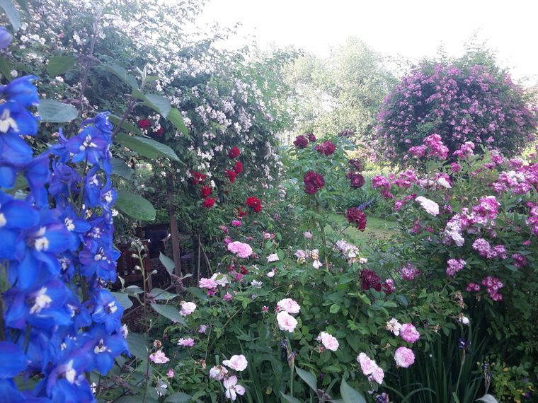 Die wunderschönen Rosen in Reinhausen.