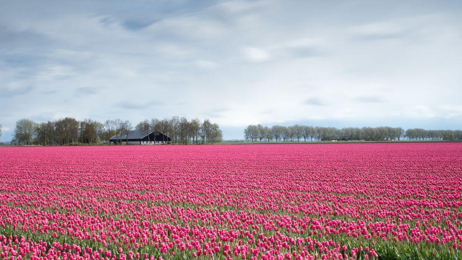 Ein Feld voller pinkfarbener Tulpen in den Niederlanden.