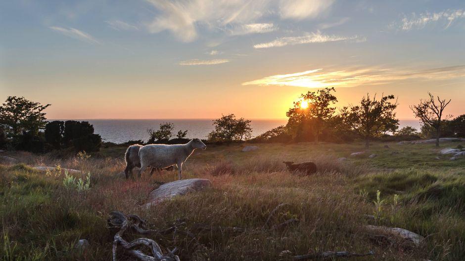 Schafe auf einer Wiese bei Sonnenuntergang auf der Insel Bornholm in Dänemark