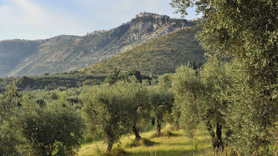 Ein Olivenhain in den Lepinischen Berge. In dieser Umgebung befindet sich auch der Ort Maenza, der Ein-Euro-Häuser zum Verkauf anbietet.