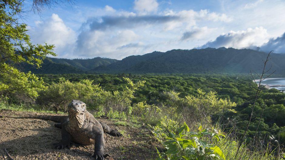 Ein Komodowaran im Komodo-Nationalpark.