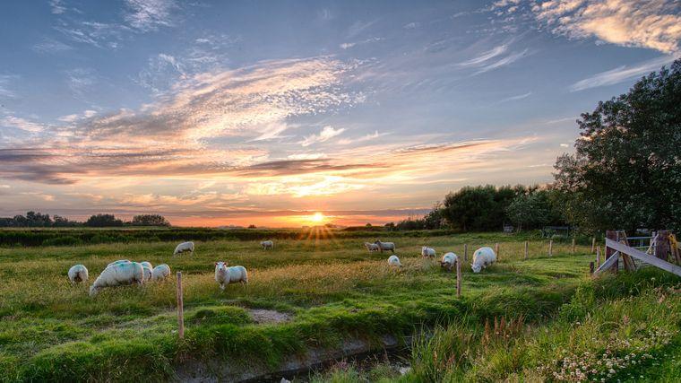 Schafswiese auf Pellworm.