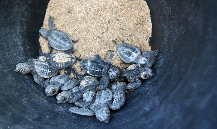 Die frisch geschlüpften Schildkrötenbabys werden eingesammelt und im Schutz der Dunkelheit am Strand ausgesetzt.