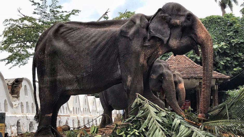 Elefantendame Tikiiri aus Sri Lanka.