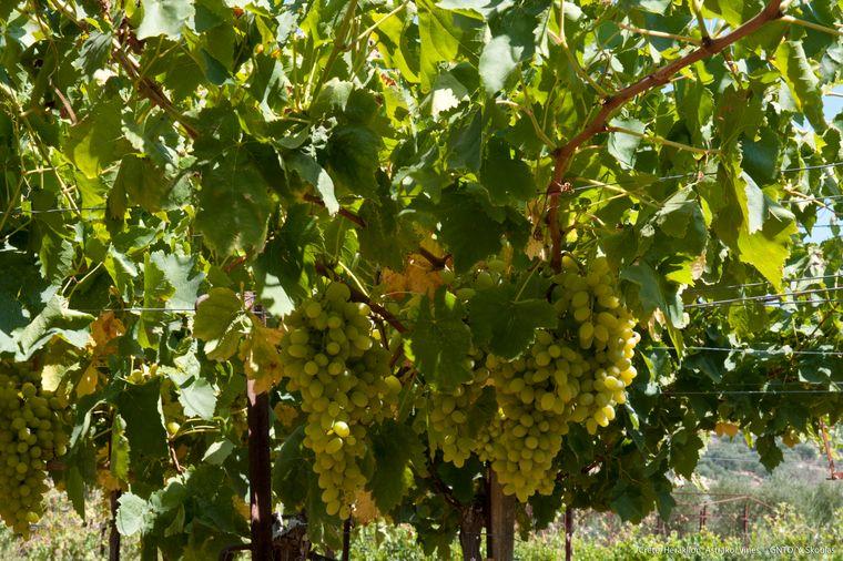Kretischer Wein in Vathypetro.