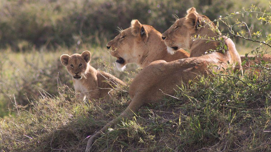 Löwenbaby mit zwei Löwinnen in der Masai Mara in Kenia.