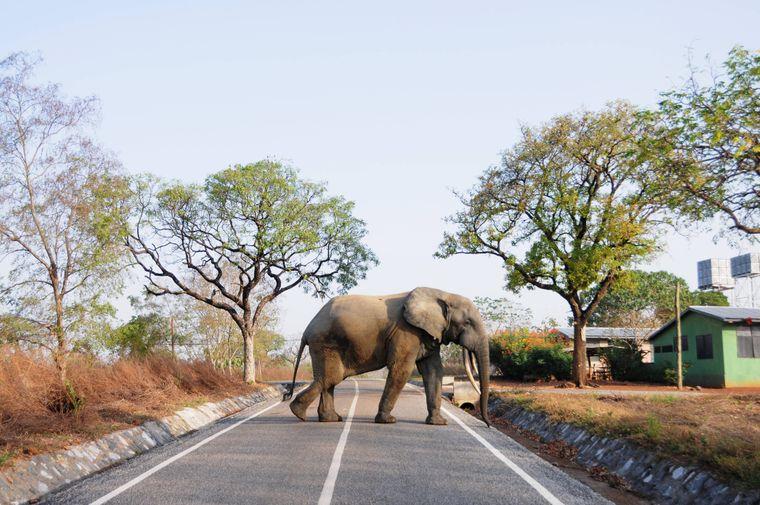 Ein Elefant läuft über eine Straße im Mole-Nationalpark in Ghana.