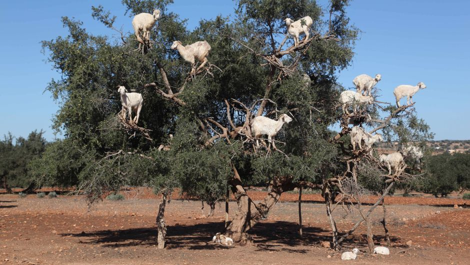 Ziegen in einem Argan-Baum in Marokko. Womöglich wurden sie von lokalen Bauern dorthin gelockt – für die Touristen.