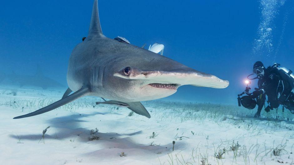 Mulmiges Gefühl: Hammerhaie zählen zu den aggressivsten Haiarten.
