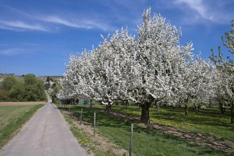Fahre mit dem Rad vorbei an den Kirschbäumen in Nordhessen.