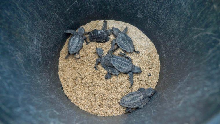 Geschlüpft! Die Baby-Schildkröten werden von Freiwilligen ins Meer gebracht.