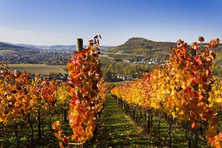 Herbstlich gefärbtes Weinlaub am Ahrsteig.