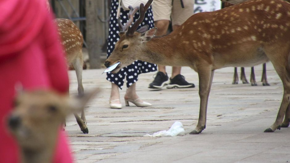 Ein Nara-Hirsch in Japan isst Abfall.