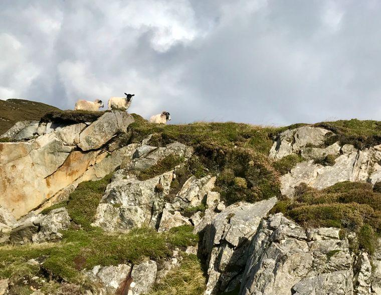 Wer auf dem Wild Atlantic Way in Irland unterwegs ist, stellt schnell fest, dass Schafe zum typischen Landschaftsbild gehören.
