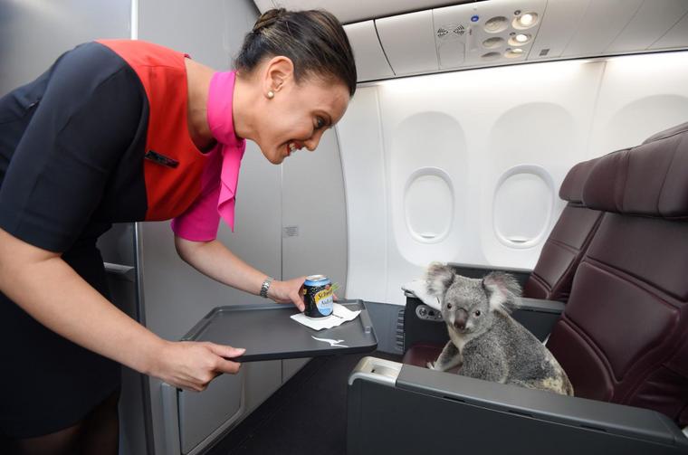 Koala an Bord eines Flugzeugs.