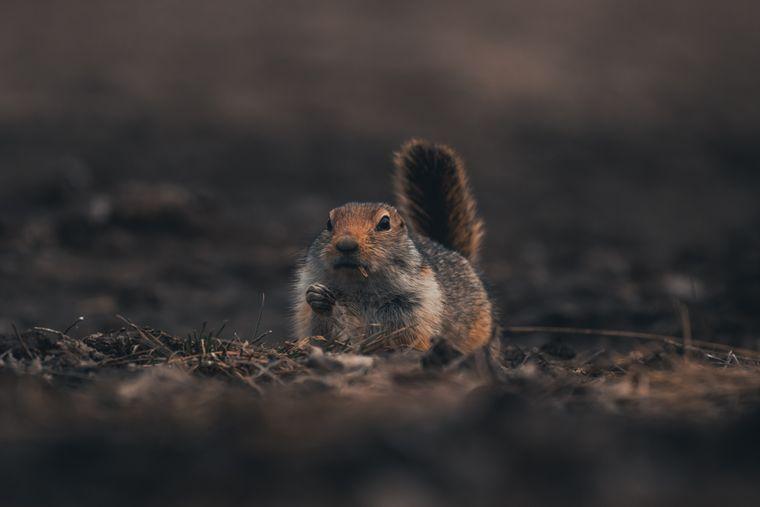 Ein Streifenhörnchen im Yukon, Kanada.