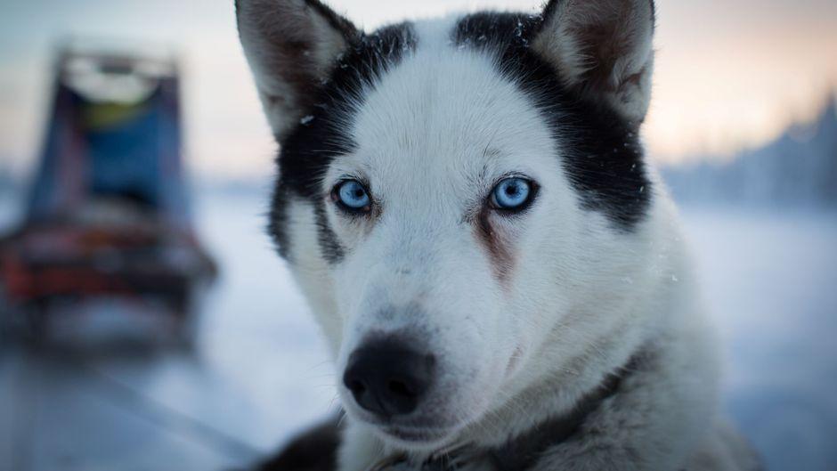 Mit den Huskys durch die Polarlandschaft.