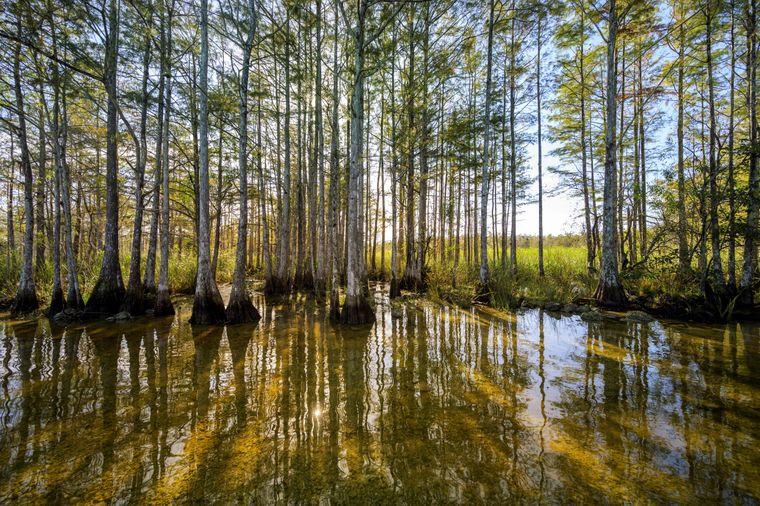 Der Wakulla River verläuft durch ein mit Zypressen bewachsenes Sumpfgebiet.