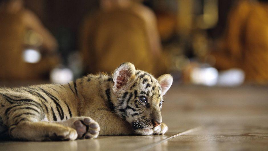 Ein Tiger im Wat Pha Luang Ta Bua in Thailand. (Archivbild)