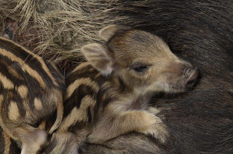 Ein Frischling am Bauch seiner Mutter.